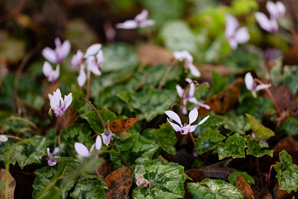 Hardy Cyclamen