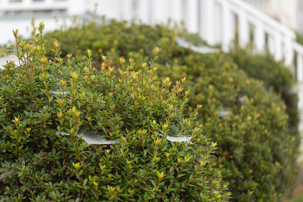 Spider webs on azalea bushes
