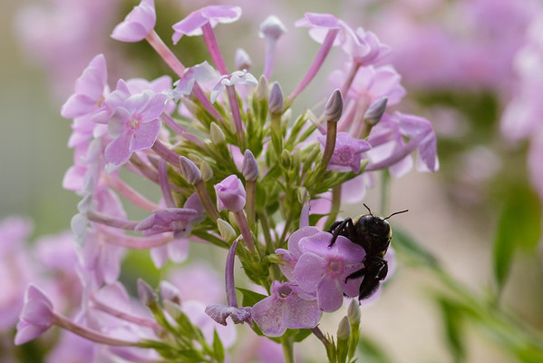Phlox with bee