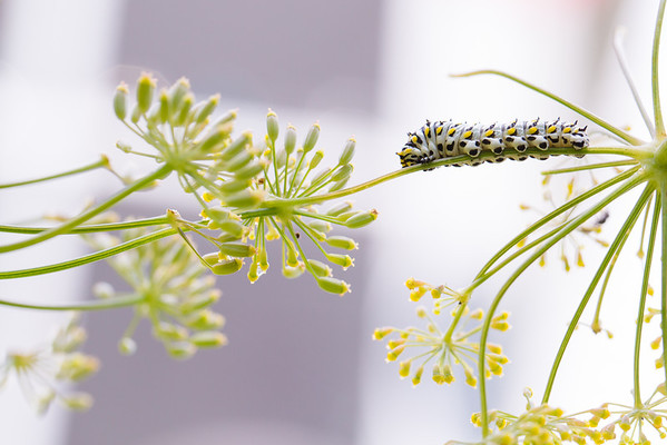 Swallotail caterpillar on fennel