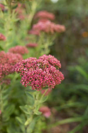 Sidewalk Shoes Sedum Autumn Joy