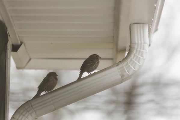 finches on gutter staying out of the rain.