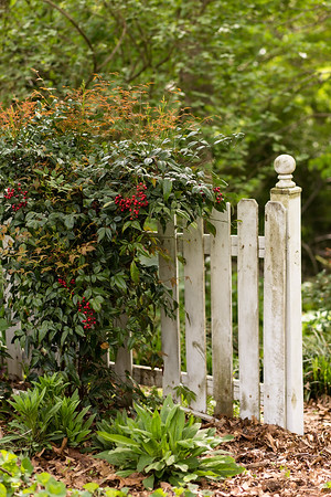 nandina on picket fence