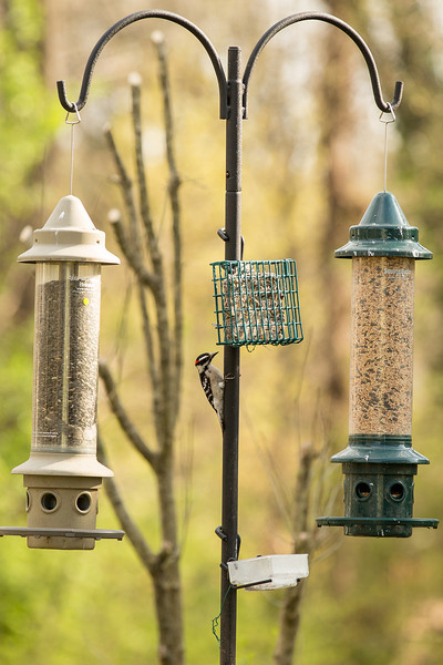 Bird feeder set up with downy woodpecker