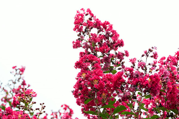 Crepe Myrtles | Sidewalk Shoes