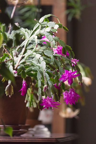Christmas Cactus - blooms from Thanksgiving on!