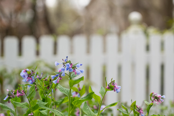 Virginia bluebells agains a white picket fence.