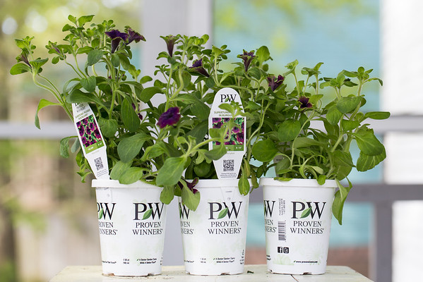 Supertunia Picasso in Burgundy, Proven Winners