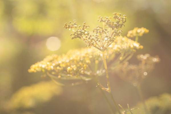 Soft morning light on the fennel plant.