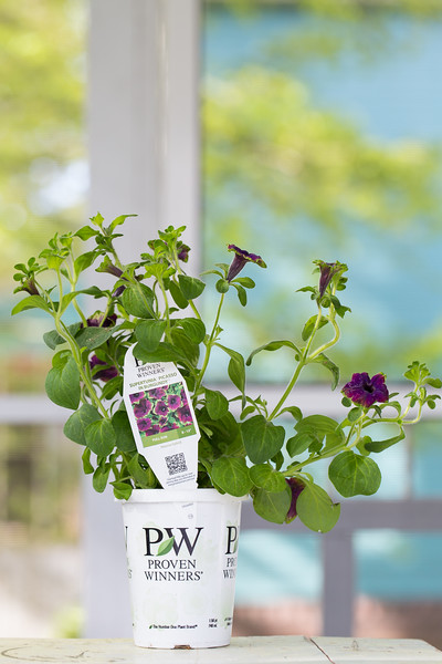 Supertunia, Picasso in Burgundy, Proven Winners,