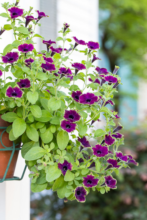 Supertunia Picasso in Burgundy from Proven Winners