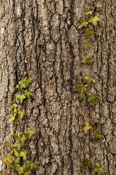 Ivy growing up a tree.