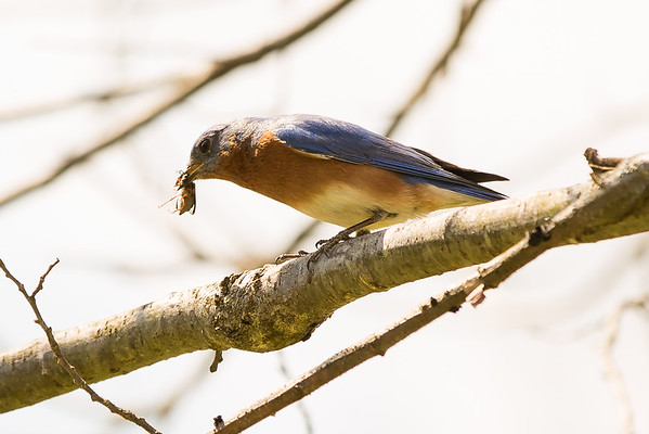 Bluebird with bug in it's beak.