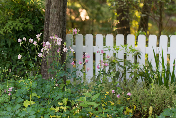 Columbine flowers in the garden in front of a tree and a white picket fence.