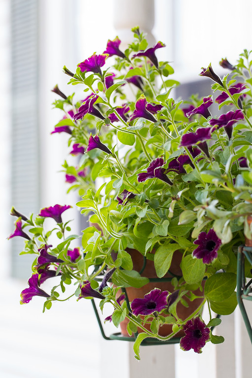Supertunia Picasso in Burgundy from Proven Winners!!
