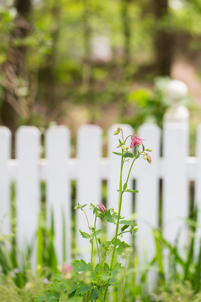 Pink Columbine flowers in front of white picket fence.