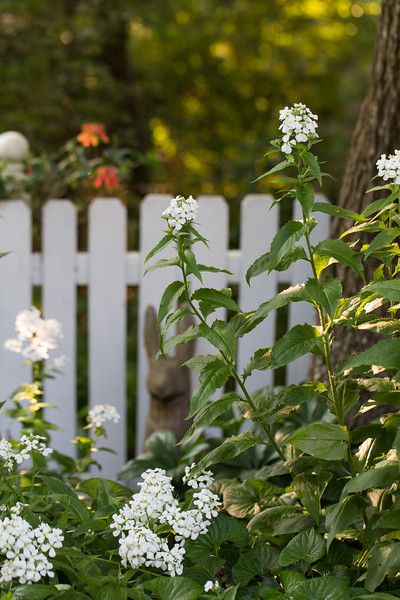 White Phlox with white picket fence.