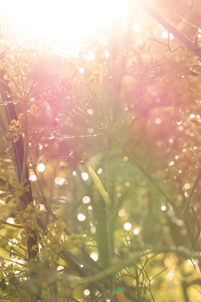 Fennel in the morning sunshine.