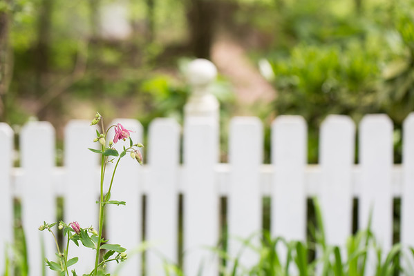 Columbine flowers in front of white picket fence.