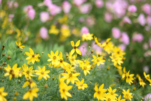 Moonbean Coreopsis
