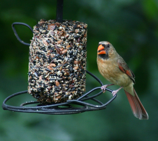 Female cardinal