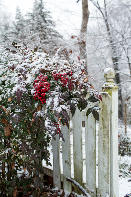 Snow with white picket fence and nandina.