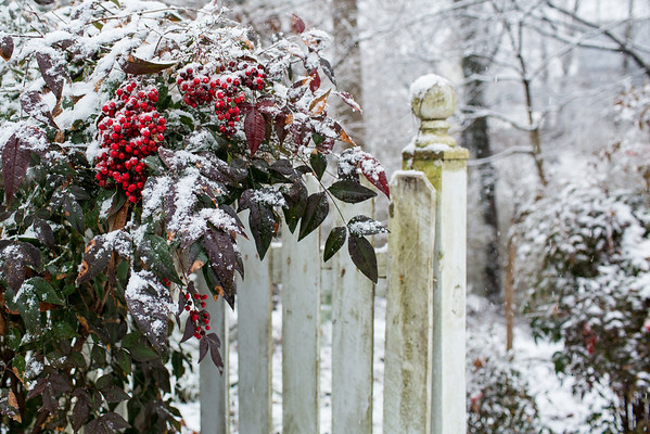 Snow on Nandina with white picket fence