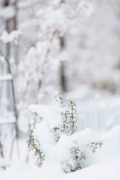 Snow on Rosemary plant