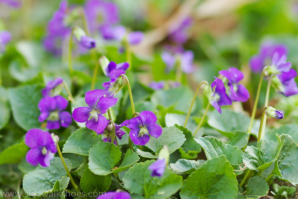 Violets