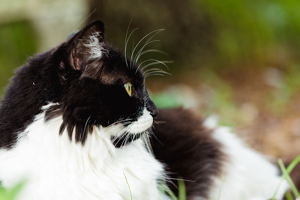 Black and white tuxedo cat