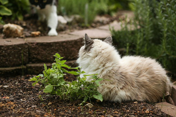 Smudge at the catnip