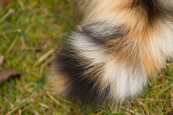 Calico cat tail