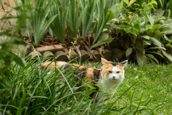Calico cat in garden
