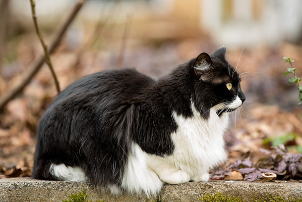 Black and White tuxedo cat in winter garden