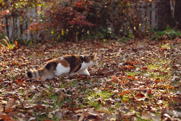 Calico cat in fall leaves stalking