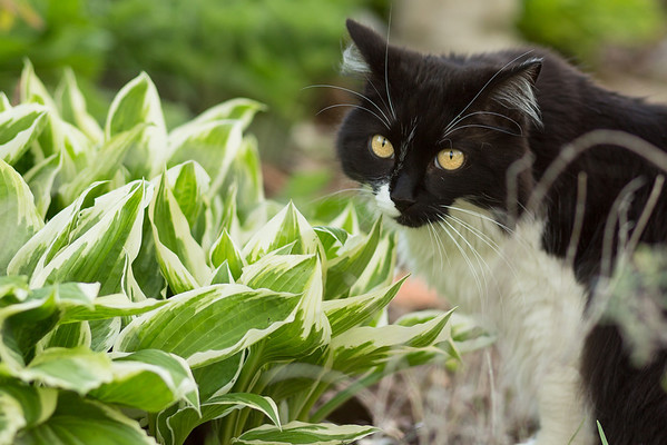 Black and white cat with hosta