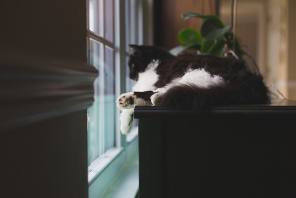 Black and white cat at window