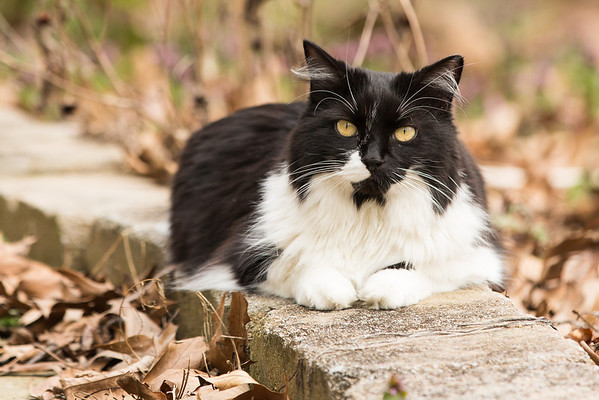 Tuxedo cat on garden walkway