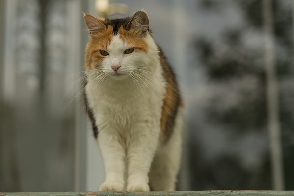 calico cat on porch
