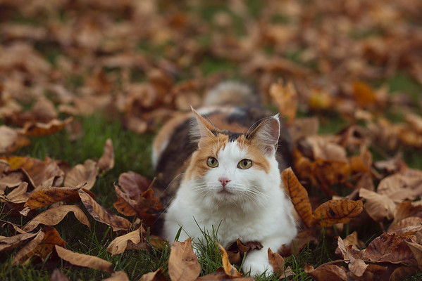 Sidewalk Shoes Calico Cat in Fall Leaves