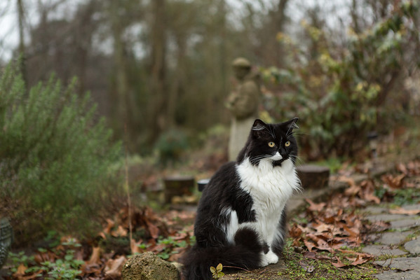 Black and white tuxedo cat on garden path
