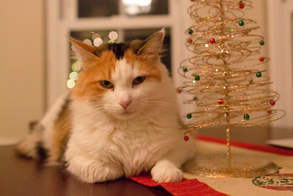 Calico cat her Christmas tree