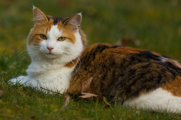 Calico cat in the grass