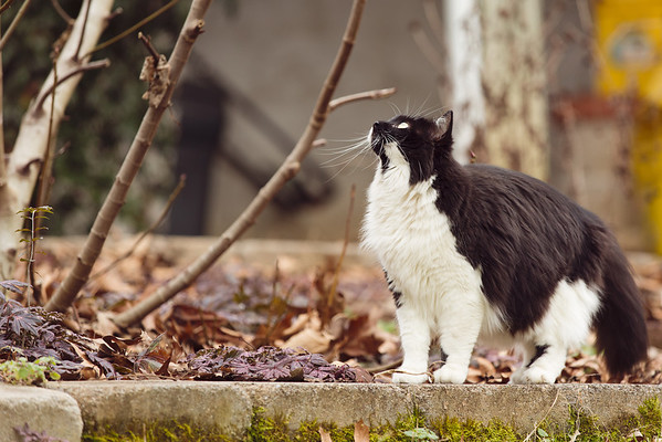 Tuxedo cat bird watching