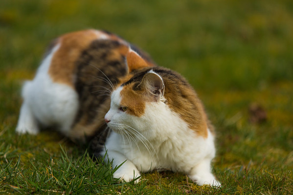 Calico cat playing in the yard