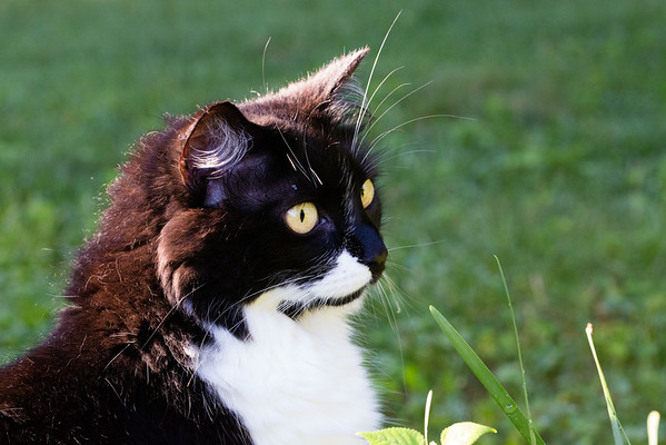 Tuxedo Cat in the Sunshine | Sidewalk Shoes