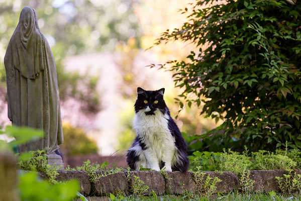 Black and white cat looking forward