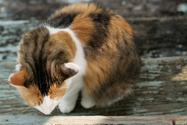 Calico Cat on Stairs | Sidewalk Shoes