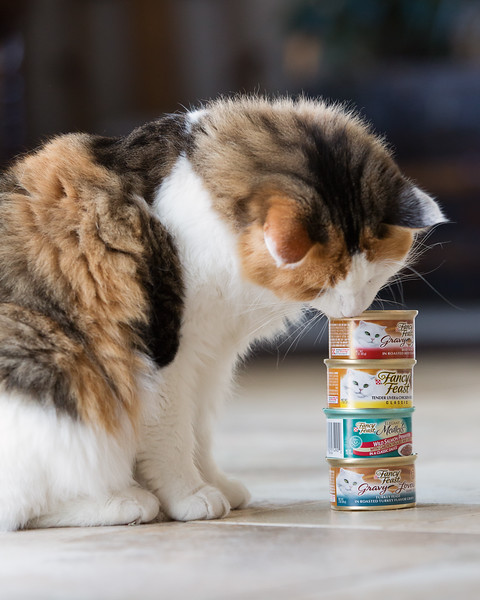 Calico cat with Fancy Feast #feastivities