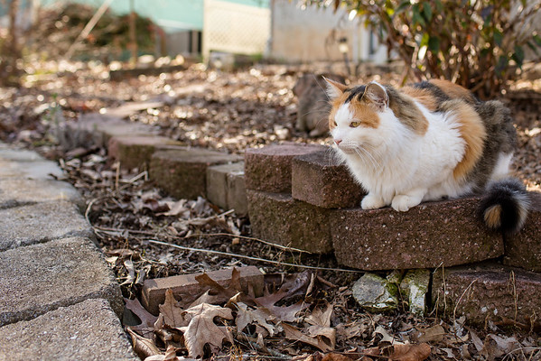 calico cat on pavers